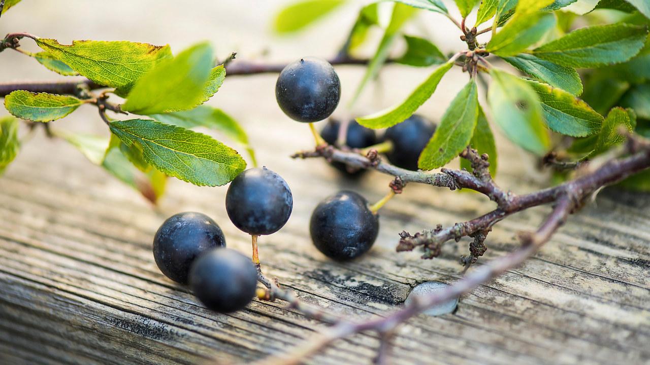 Gren med blad och slånbär ligger på gammalt träbord.