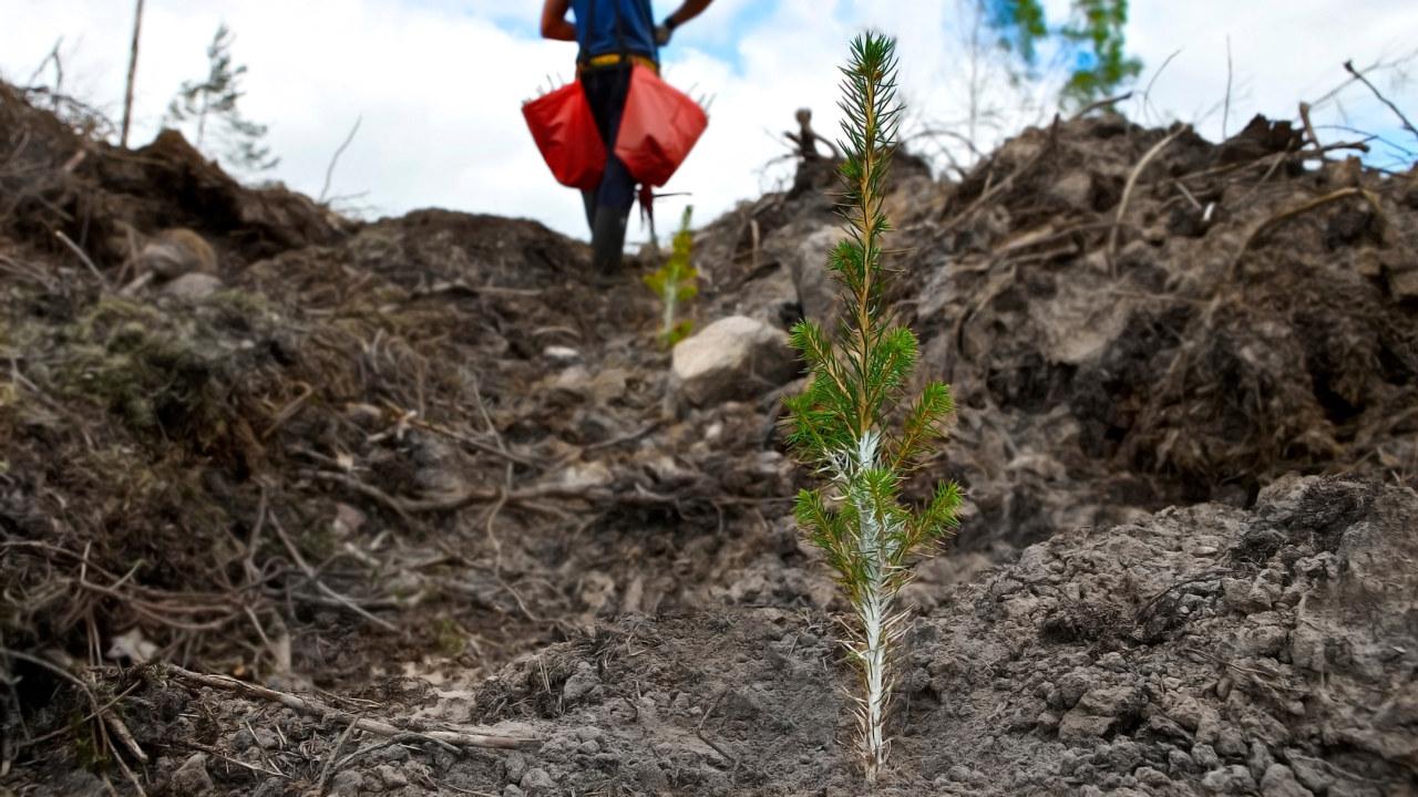 Granplanta med plantskyddet Cambiguard planterad på ett hygge som är markberett. Plantör med röda plantväskor i bakgrunden.