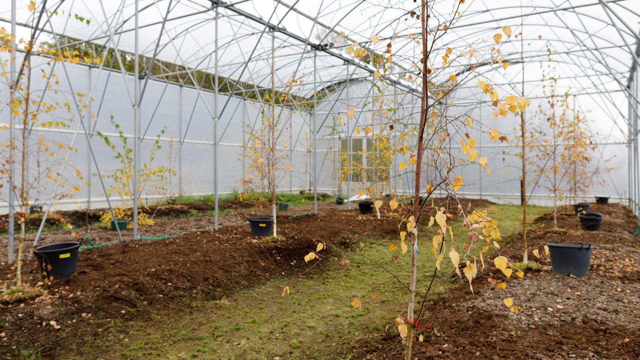 Unga björkar, cirka 3 meter höga, i ett växthus med vita väggar. Några få gula blad på grenarna.