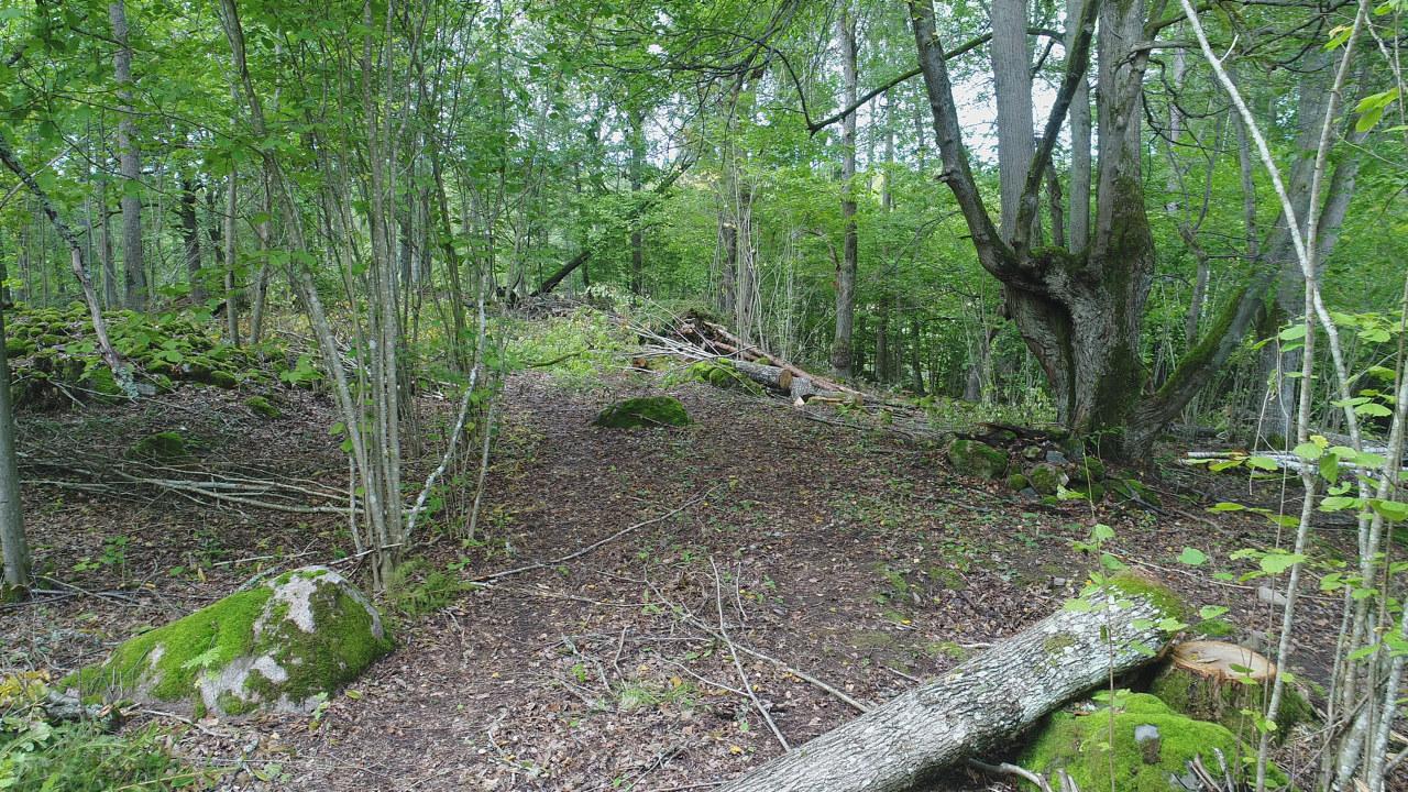I bakgrunden syns ett äldre lövträd som tidigare hamlats för att ge foder till betesdjuren. Nu har yngre träd som växt nära och konkurrerat med det gamla trädet tagits ner, för att ge förutsättningar för det gamla träden att leva vidare.
