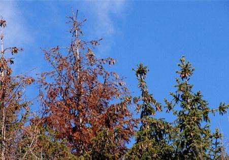Trädplanta
